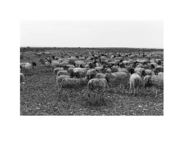 A black and white photo of almost transparent sheep in the Kalahari